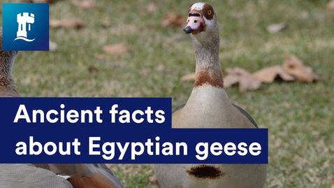 Thumbnail for entry Ancient facts about Egyptian geese
