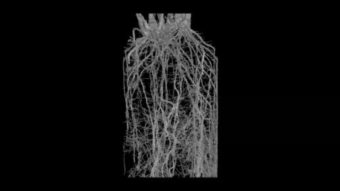 Thumbnail for entry UoN The Hidden Half: Congo Grass (Brachiaria ruziziensis)
