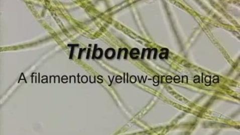 Thumbnail for entry Tribonema