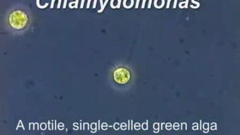 Thumbnail for entry Chlamydomonas