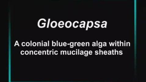 Thumbnail for entry Gloeocapsa