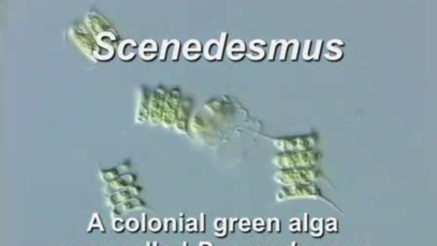 Thumbnail for entry Scenedesmus