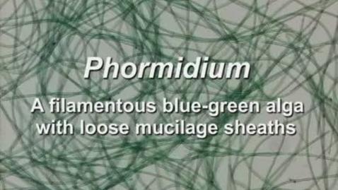 Thumbnail for entry Phormidium