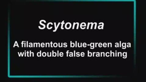 Thumbnail for entry Scytonema