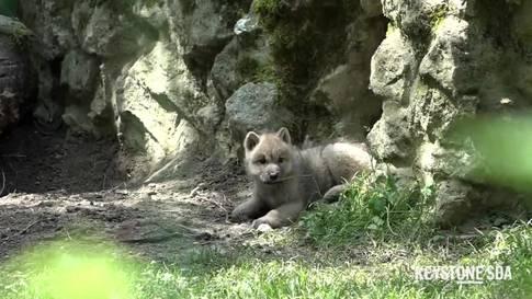 Jööh-Alarm: Polarwolf-Baby im Zoo von Servion (VD)
