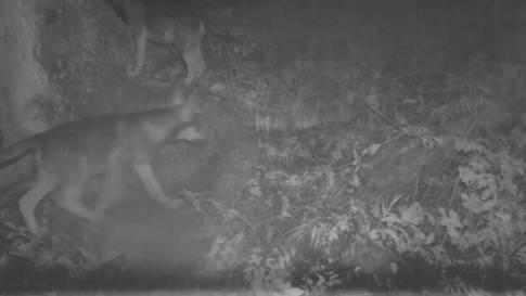 Wolfsrudel mit sieben Jungwölfen im Wallis nachgewiesen