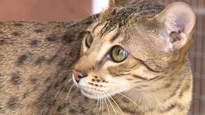 Savannah-Katzen in Aktion – im Beitrag der Sendung «tierisch»