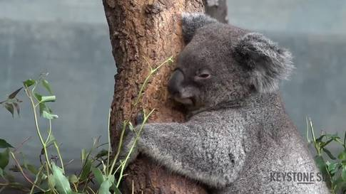 Koala-Weibchen in Zoo Zürich eingezogen