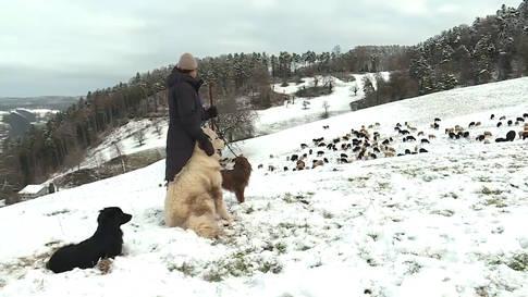 Unterwegs mit Sarah Müri, Hüterin von 400 Schafen: «Ich habe hohe Ansprüche»