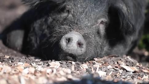 Fast ausgestorbene Alpschweine ziehen in den Tierpark Goldau ein