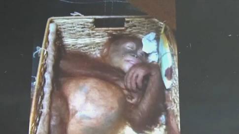Bali: Orang-Utan-Baby vor Schmuggel gerettet