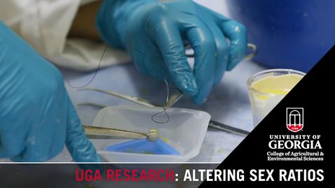 Thumbnail for entry Altering Sex Ratios in Chickens | Kristen Navara
