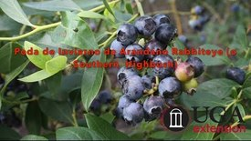 Thumbnail for entry Dormant Pruning of Rabbiteye (or Southern Highbush) Blueberry (Spanish)