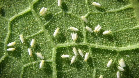 Thumbnail for entry The Silverleaf Whitefly problem in Georgia