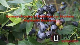 Thumbnail for entry Dormant Pruning of Rabbiteye (or Southern Highbush) Blueberry (English)