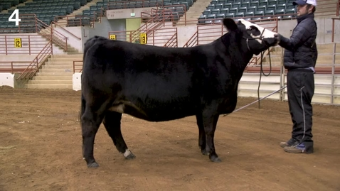 Thumbnail for entry Class 23 Entry 4 Percentage Simmental Heifers.mp4