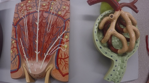 Thumbnail for entry Urinary System- The Nephron