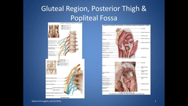 Thumbnail for entry BL, HS, Gluteal Region Posterior Thigh & Popliteal Fossa