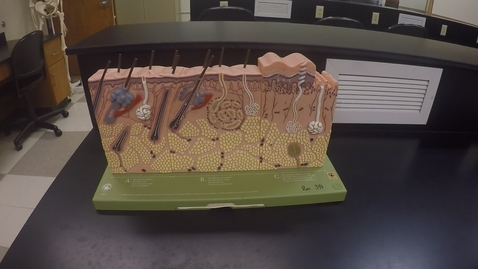 Thumbnail for entry Chapter 5 Integumentary System