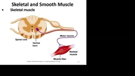 Thumbnail for entry bl_FHD_1-10_Martin_skeletal&smooth_muscle part2