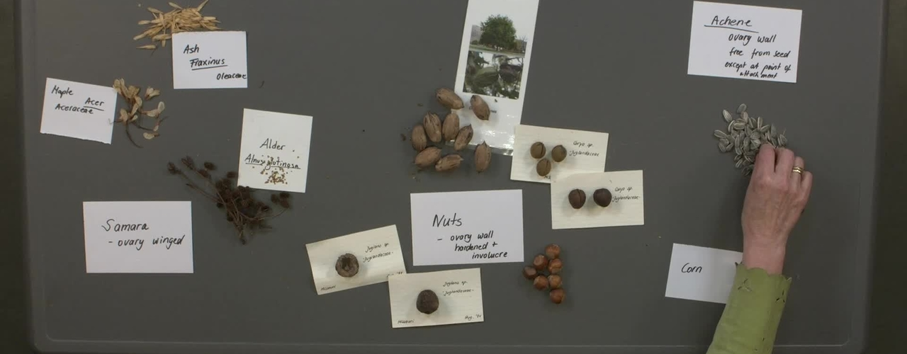 Reproductive Morphology: Live Fruits, Dry Indehiscent