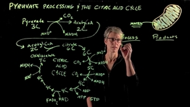 Thumbnail for entry Pyruvate Processing & The Citric Acid Cycle