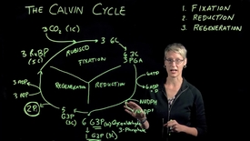 Thumbnail for entry The Calvin Cycle