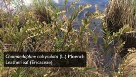 Thumbnail for entry Ericaceae_DissectionVideo
