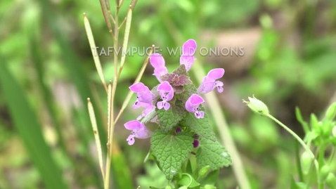 Thumbnail for entry Muscogee Nation presents Wild Onions