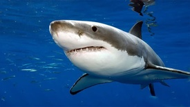Thumbnail for entry Great White Shark