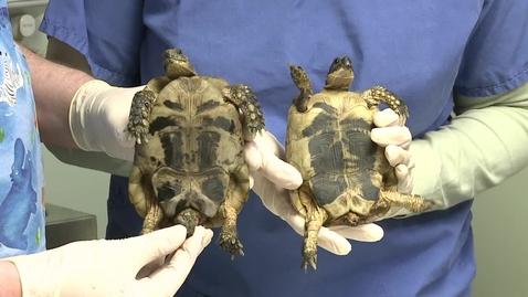 Thumbnail for entry Tortoise gender