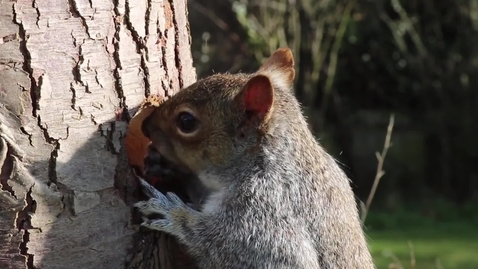 Thumbnail for entry Clip of Squirrel video