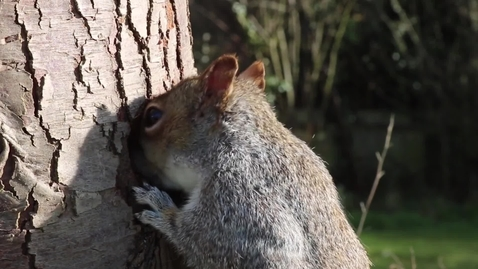 Thumbnail for entry Squirrel video