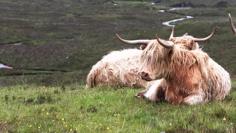 Thumbnail for entry Highland cow video - Quiz