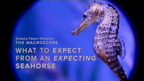 Thumbnail for entry What to Expect From an Expecting Seahorse