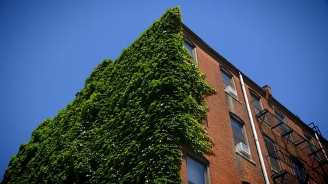 Ivy in the Wind