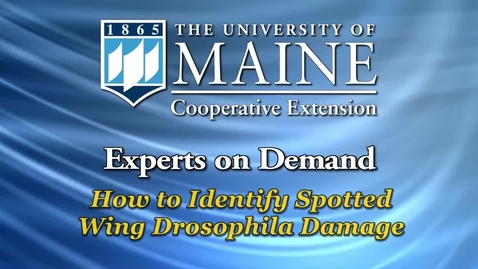 Thumbnail for entry How to Identify Spotted Wing Drosophila Damage