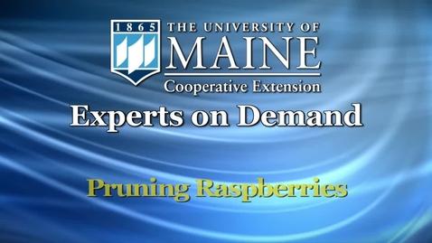 Thumbnail for entry How Do I Prune Raspberries?