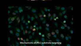 Thumbnail for entry Mechanisms of Polo-like kinase 1 (Plk1) substrate targeting by quantitative proteomics