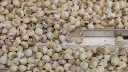 Las nuevas tecnologías nos hacen la vida más cómoda, también en las tareas camperas. En este programa vemos las facilidades aportadas por estas innovaciones en el cultivo del ajo.