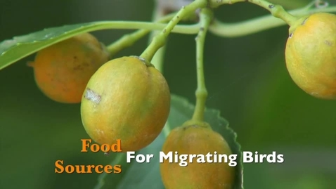 Thumbnail for entry Food Sources for Migratory Birds