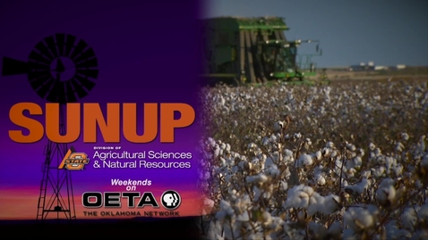 Thumbnail for entry SUNUP: Future of Cotton Varieties