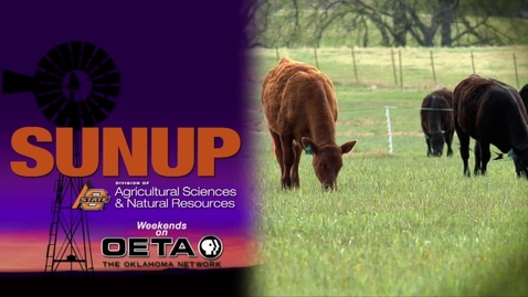 Thumbnail for entry SUNUP: Cow-Calf Corner: Working spring calves