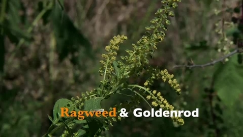 Thumbnail for entry Oklahoma Gardening: Ragweed & Goldenrod