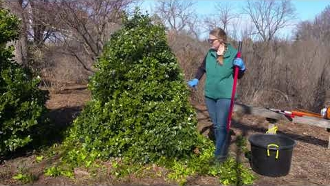 Thumbnail for entry Shear Pruning Method for Evergreens