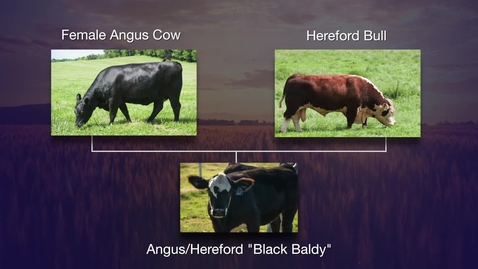 Thumbnail for entry Researching feed efficiency in angus/hereford crosses
