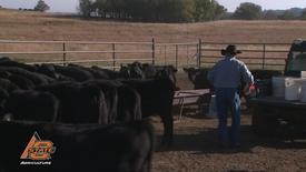 Thumbnail for entry Healthier calves, higher prices