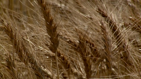Thumbnail for entry OSU releases four new wheat varieties