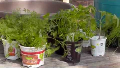 Thumbnail for entry A Spicy Salsa Garden in a Container