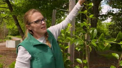 Thumbnail for entry Spring Pruning Espalier Trees